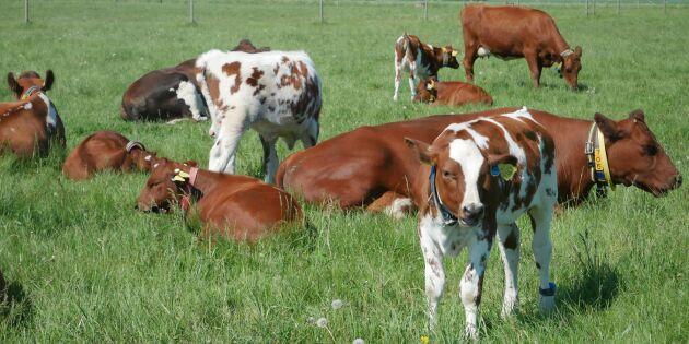 Mjölkkor och kalvar tillsammans på försök