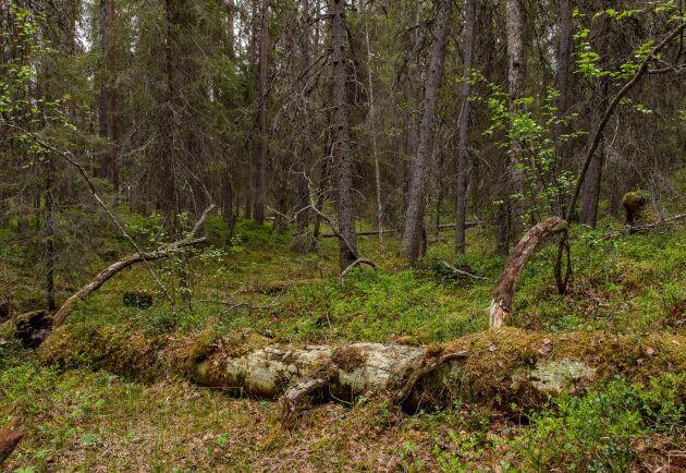 Gammelskog, nyckelbiotop med många orkidéarter.