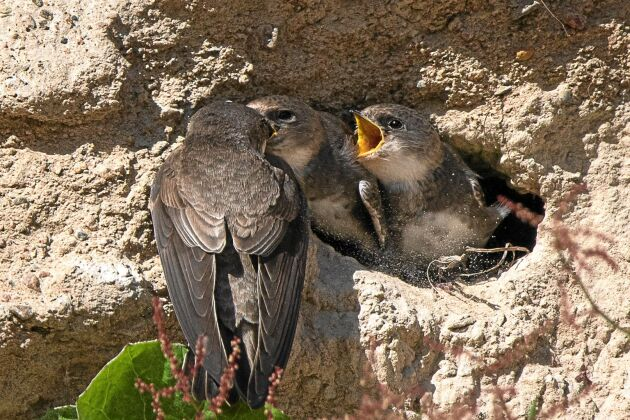 Livligt i sandtaget! Redan första året häckade 14 par, i år över 70 och nästa år hoppas man på 200 fågelpar.
