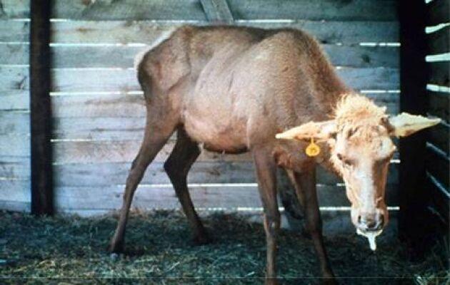 Djuret visar typiska symptom för CWD: avmagring, dregling och står med hängande huvud. Bild från Nordamerika lånad med tillstånd från CWD Alliance, cwd-info.org
