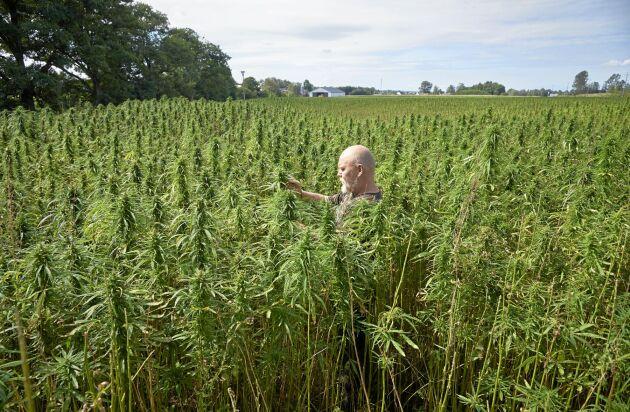 Robert i den frodiga odlingen av industrihampa som växt till 25 hektar.
