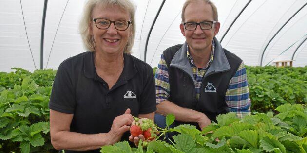 Potatisodlingen bär frukt för spjutspetskandidaten Axelssons i Aby