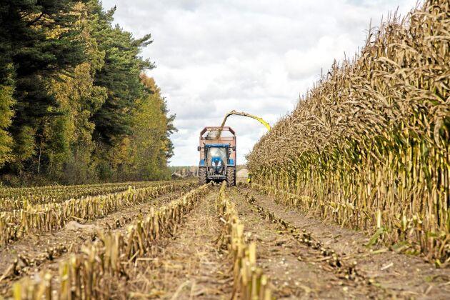 Den senaste månaden har vi sett hur mer majs gått till tillverkning av etanol i USA. Här majsskörd på Gotland.
