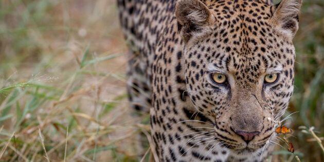 Leopard fast i fälla efter fårjakt