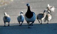 Fågelinfluensa hos vilda fåglar i Sverige