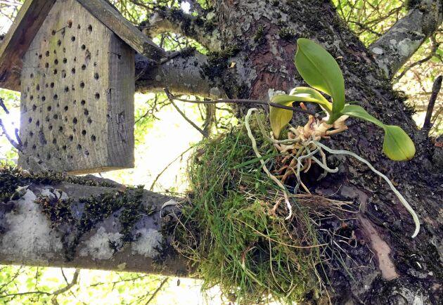 Brudorkidé på sommarkollo i äppelträdet. Kryphuset intill ska förhoppningsvis locka dit hjälpsamma tvestjärtar.