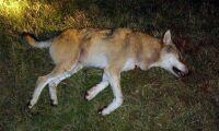 Centerpartiet vill förenkla för skyddsjakt på varg