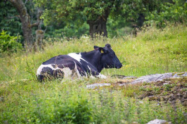 Svenska mjölkkor får vara ute på somrarna och beta saftigt gräs.