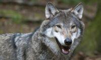 Aktivister hindrar vargjägare