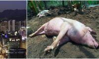 Två fall av Afrikansk svinpest upptäckta