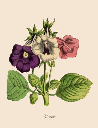 Gloxinia växer från knölar men kan också förökas med bladsticklingar.