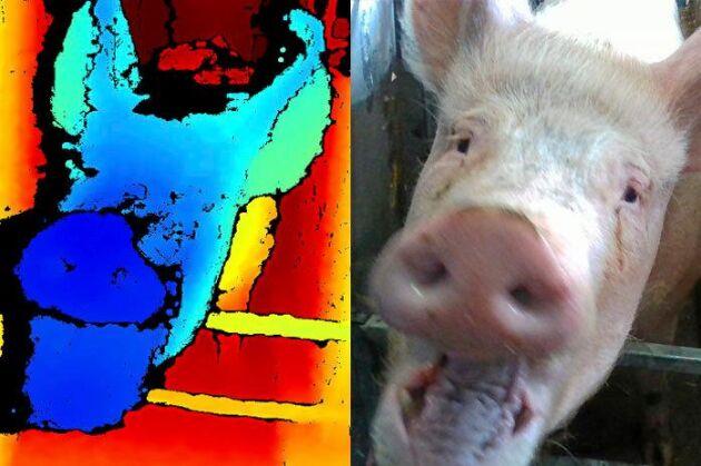 Med hjälp av teknik för ansiktsigenkänning utvecklar forskare ett verktyg för att läsa av grisars känslor.