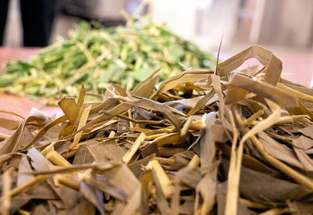 SLU utför ett projekt för ensilering av vass. I sommar ska man skörda 100 ton vass.