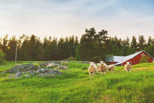 """Om varje medborgare betalade en """"beteskvot"""" så skulle svenska bönder kunna hålla djur utan att slakta dem. Det föreslår en forskare vid KTH."""