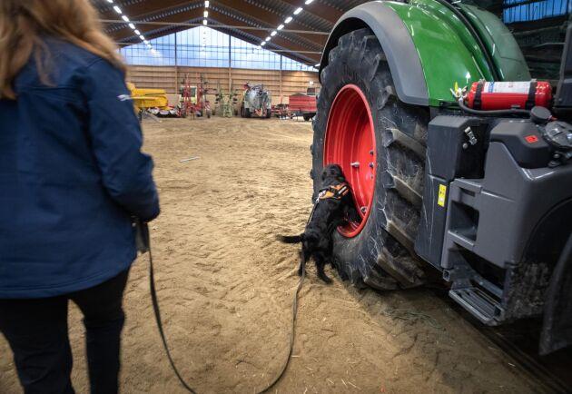 Matte Elin Karlsson har placerat ut små doftande bitar på traktorn och jaktcockerspanieln Alex gör allt för att hitta dem.