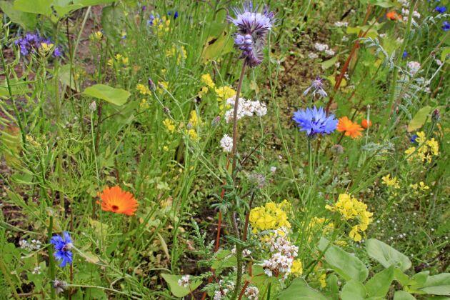 Färgglad blomstermix med ätbara inslag som koriander och dill.