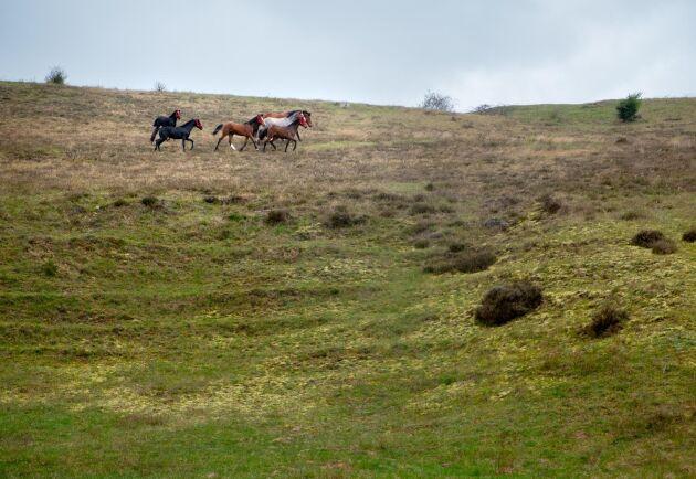 I det Leader-finansierade tvååriga projektet ska man se hur hästar på bete i kuperad terräng utvecklas jämfört med de som går på plan mark.