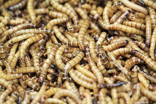 Framtidens proteinföda. Det tror danska Dorte Svenstrup om mjölmaskar och som nu startat Danmarks första insektsfarm på släktgården.