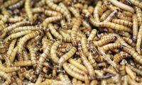 Första insektsfarmen igång