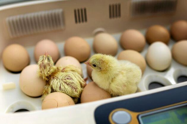 I kläckaren kryper kycklingarna ut, en efter en.