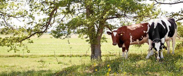 Betande kor är bra för en rik flora och gynnsamt för insekter och fåglar. Dessutom håller de kulturlandskapen öppna.