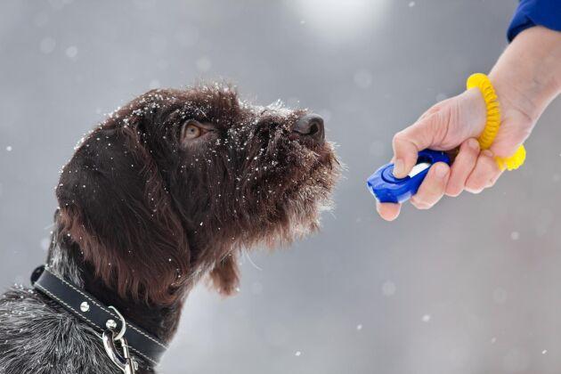 Valp eller vuxen hund – det är alltid rätt tid att börja klickerträna! Din hund kommer inte bara lära sig en massa saker.