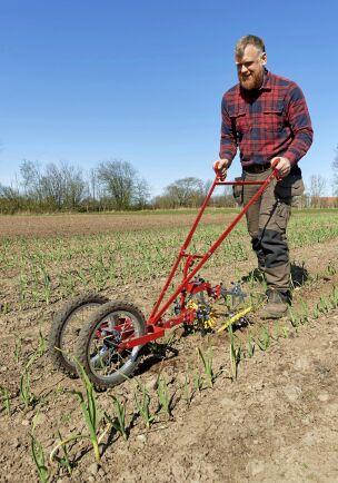Johan Widing rensar mellan vitlöksraderna med en modern ogräshacka. På gården finns 20 hektar odlingsmark och 600 hektar betesmark.