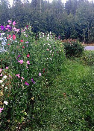 Ewamays luktärtshäck blommar i många färger.
