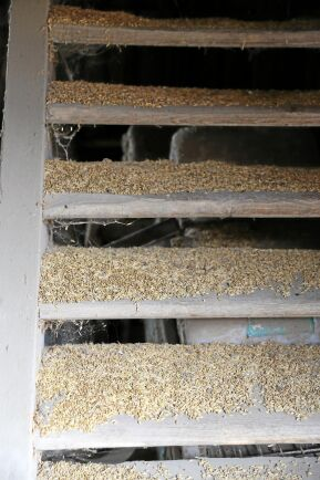 På Kyrkotorps Lantbruk ligger spillt gammalt tröskat spannmål och lockar råttorna.