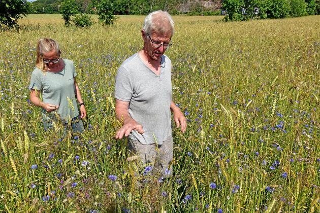 Anna Wilhelmsdotter och P-O Larsson står i ett fält med Evo-emmer som är en blandning av olika emmersorter.