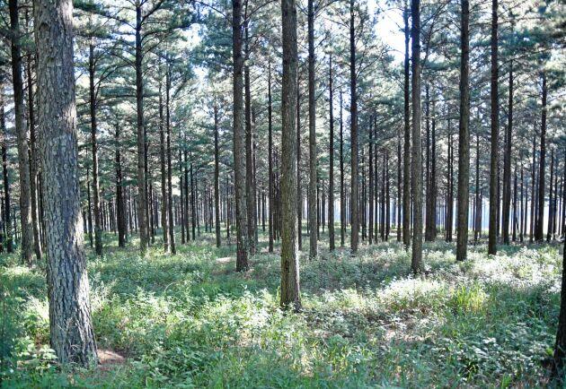 Kritikerna menar att tallplanteringarna bildar en monokultur med alltför fattig undervegetation.