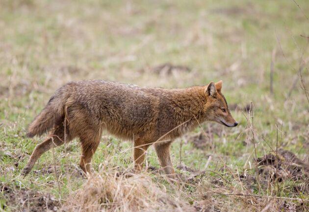 Guldschakalen blev sedd i Danmark första gången 2015. Senast observerades den i april 2017 då den dödade ett lamm hos en fåruppfödare i södra Jylland.
