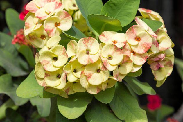 Nya hybrider av Kristi Törnekrona har tagits fram med tvåfärgade blommor.