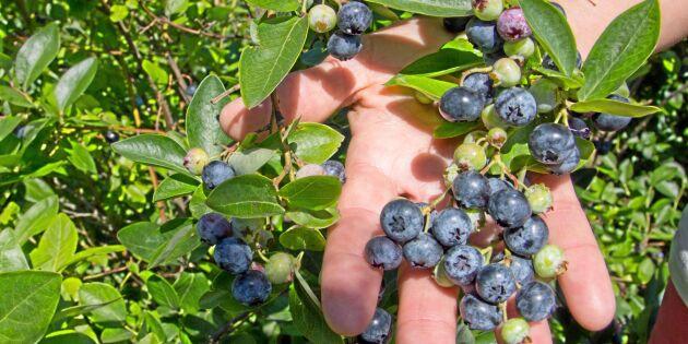 Blåbärsatsningen bar frukt