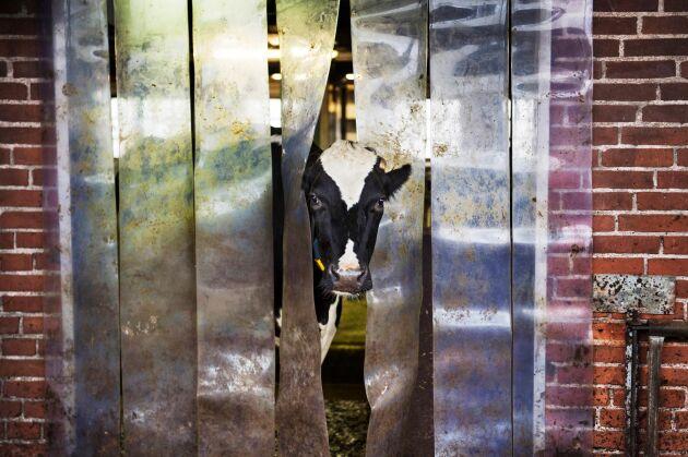 Arbetsglädjen har försvunnit och uppgivenheten är stor – förtroendet minskar allt mer för mejerierna, skriver Sveriges mjölkbönder (arkivbild).