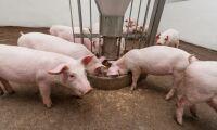Dansk grisproducent i konkurs efter torkan