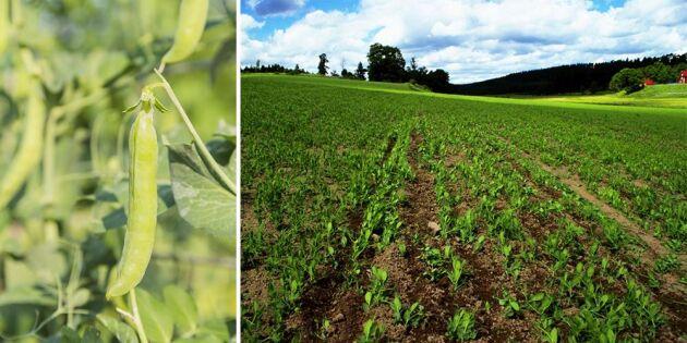 Hushållningssällskapet tipsar om att så fodergröda