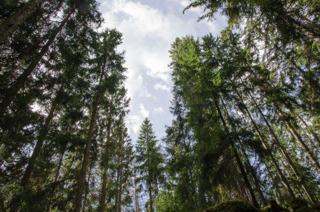 När rapporterna presenterades stod det också klart att SCA och Holmen byter värderingsprincip för sina respektive skogsinnehav.