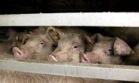 Gristransport välte - 130 djur instängda