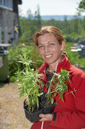 Jeanette visar två plantor av noga kontrollerad industrihampa. Växten är en av de mest köld- och torktåliga som går att odla.