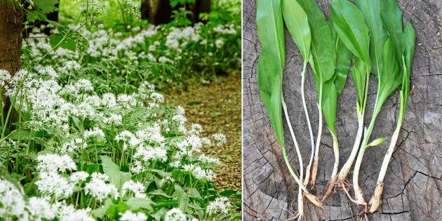 Så odlar du ramslök – från frö till växt