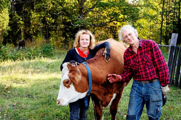 Ann-Helen Meyer von Bremen och Gunnar Rundgren med kossan Bruna. De är glada över att de skaffade kor när de köpte sin gård.