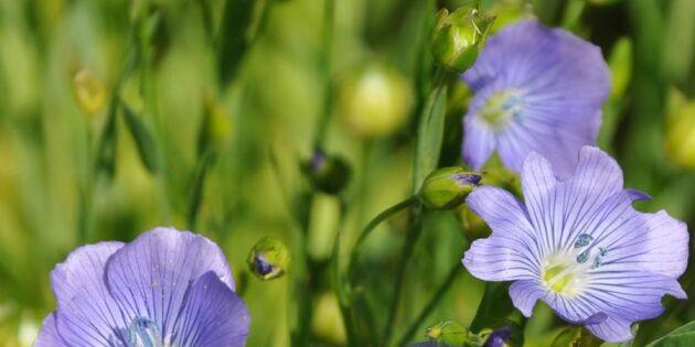 Änglamark i påse: Blomsternytt som ger rabatten ängskänsla