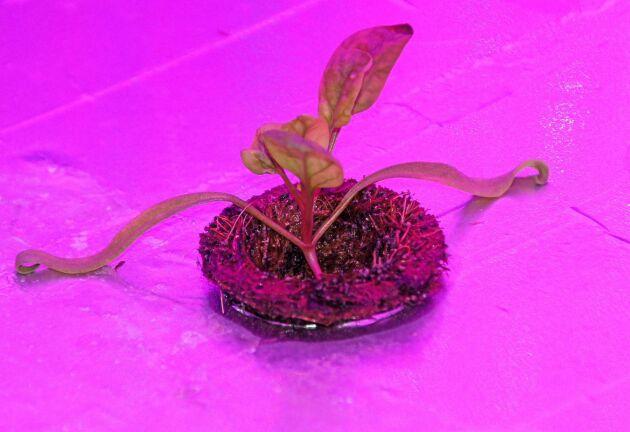 Bildtext (4-5): Den här lilla spenaten har aldrig sett dagens ljus utan har odlats fram helt utan jord, solljus eller bekämpningsmedel. Till och med smaken kan optimeras genom finjusteringar vid automatiserad och optimerad odling.
