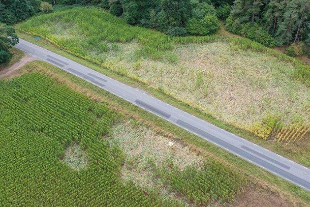 Det växande problemet med viltskador i jordbruket påverkar också fältförsöksverksamheten negativt. Här är ett majsfält som skadats av vildsvin.
