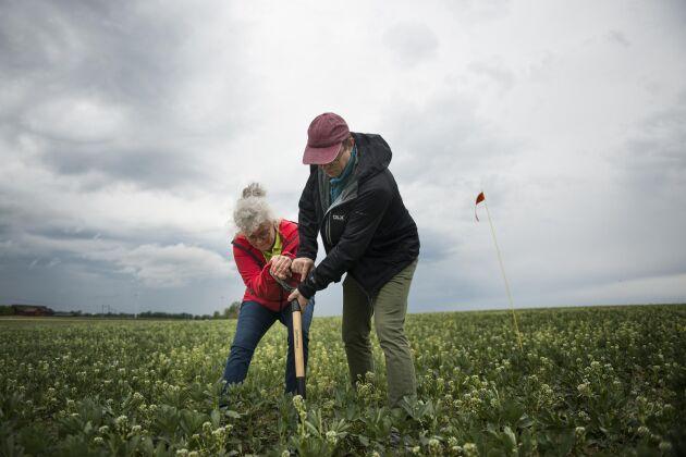 Fyra händer på en spade är kanske inte optimalt, men Christina Lundström, forskare på SLU RådNU, och Markus Hoffmann, mark- och vattenexpert på LRF, tar fasta på symboliken.