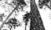 Skogsstyrelsen vill säkra tallens framtid