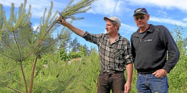 Skogsägare frustrerade över missväxta tallplantor