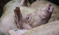 Svinpest hotar dansk grisexpansion
