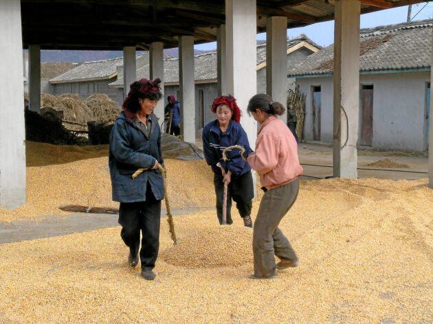 Tre kvinnor hjälps åt med att torka majs.